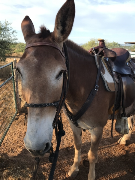 Mule with Breast Collar