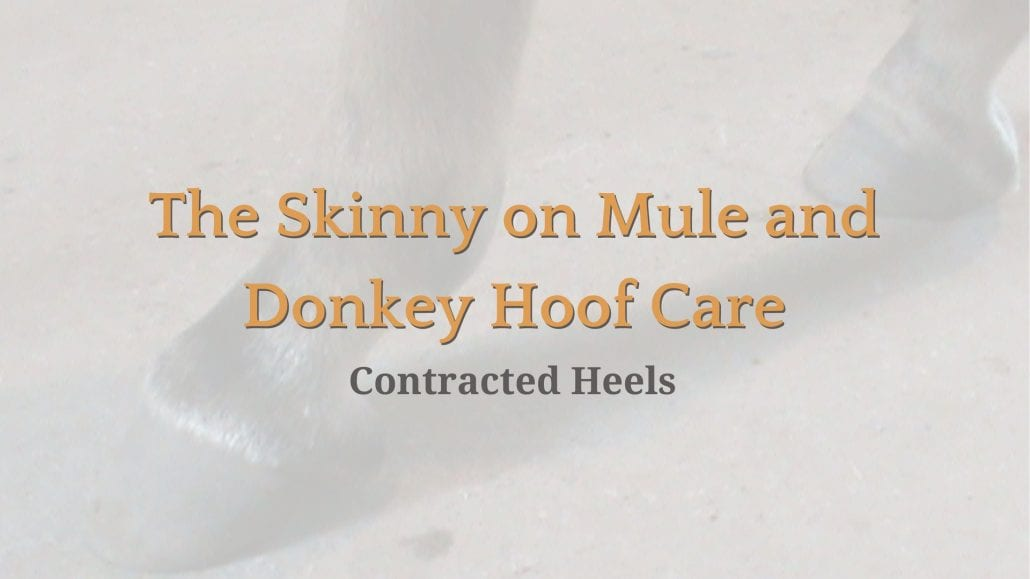 contracted heels 1030x579 the skinny on mule and donkey hoof care contracted heels queen