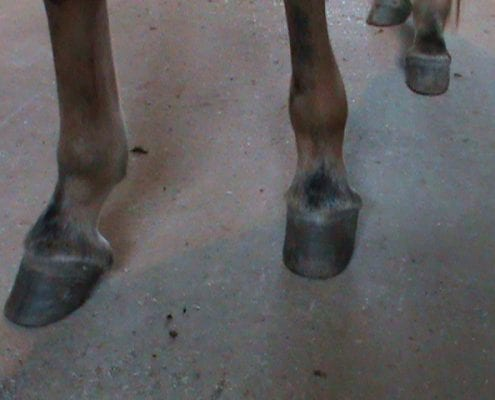 mule hoofs 3 495x400 the skinny on mule and donkey hoof care contracted heels queen