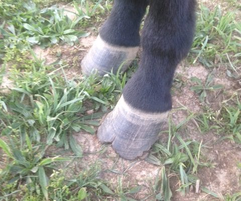 The Skinny on Mule and Donkey Hoof Care - Cracks | Queen Valley Mule