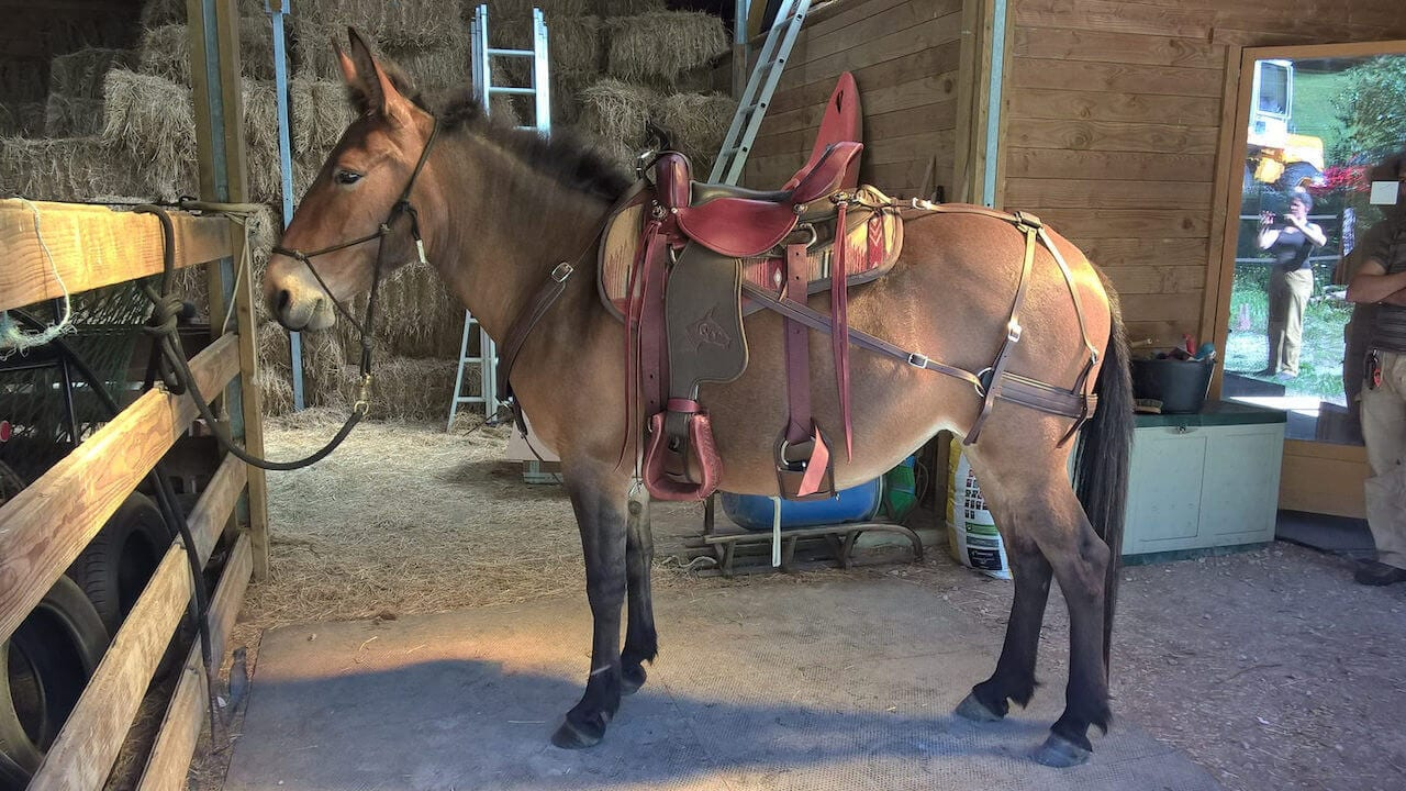 Mule rigged with breast collar article featured image