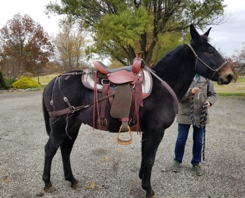 Mule wearing Steve Edwards Trail Lite Saddle - picture of right side