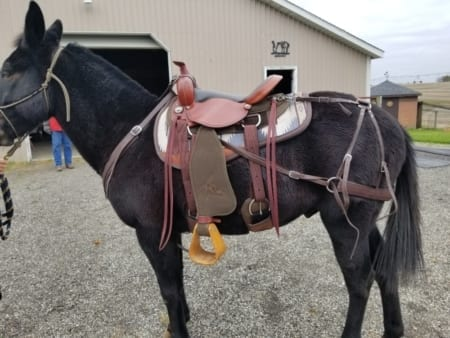 Mule wearing Steve Edwards Trail Lite Saddle - picture of left side
