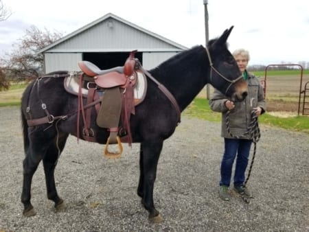 Mule wearing Steve Edwards Trail Lite Saddle-Picture of Right Side