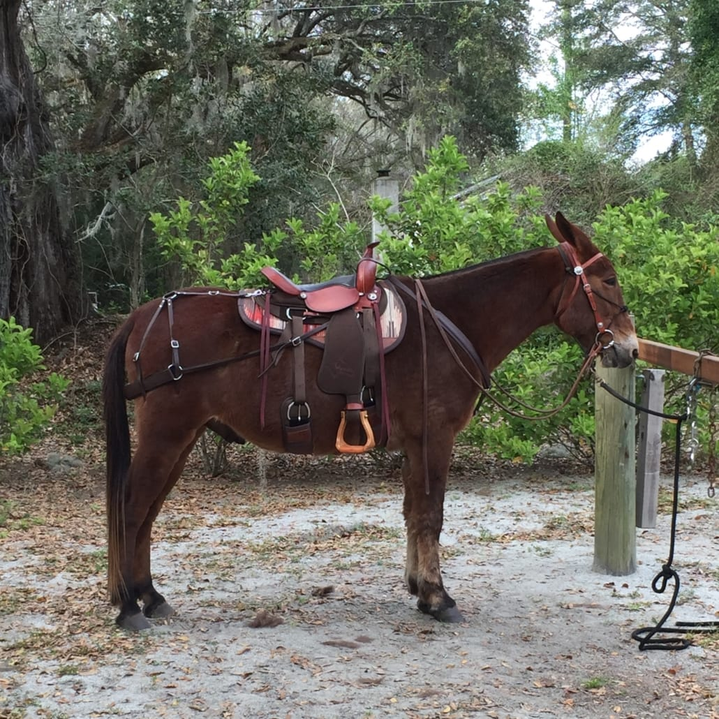 Mule tacked with saddle, cinches, beta brichen, beta breast collar, and saddle pad