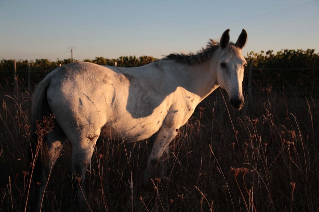 White mule in a field at sunset